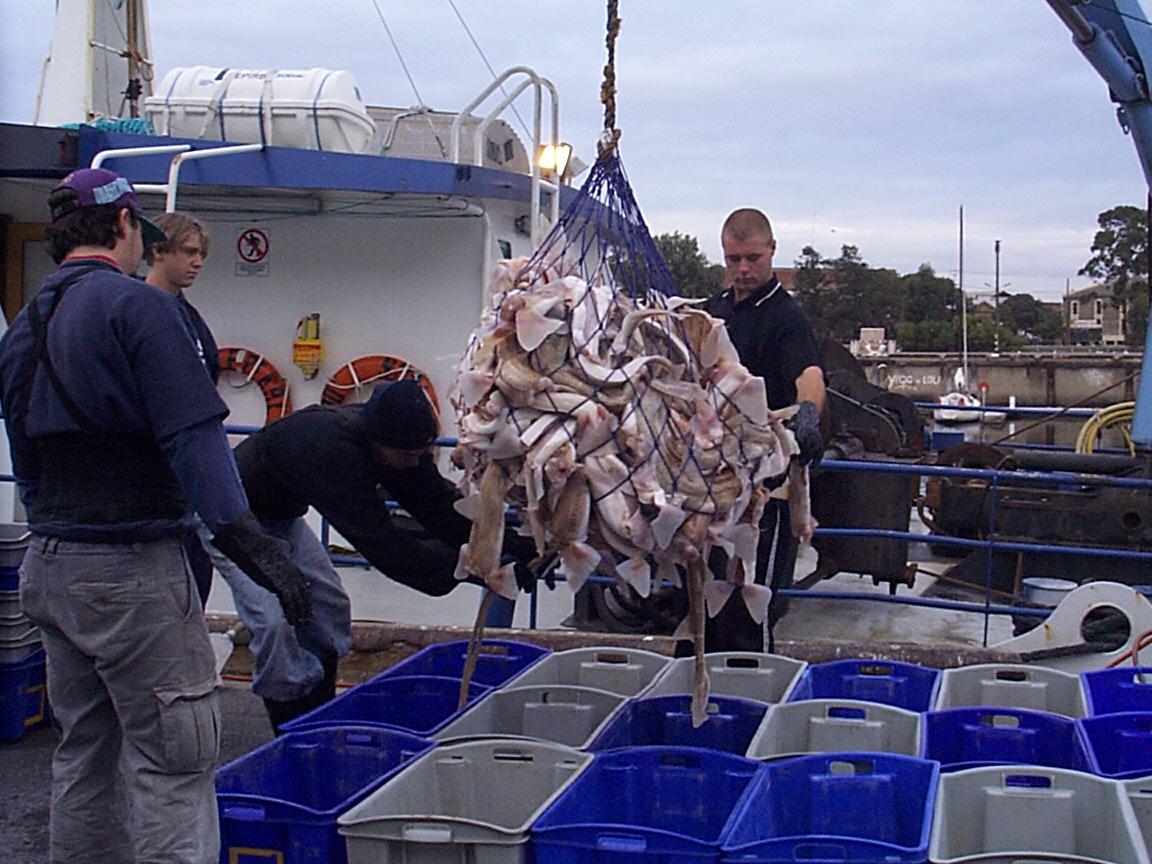 Unloading shark catch