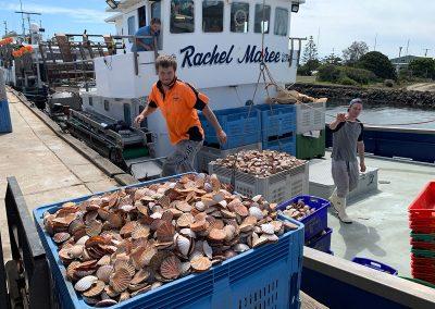 Unloading scallop catch