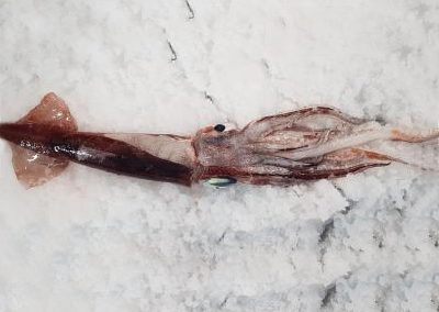 Improved targeting of arrow squid