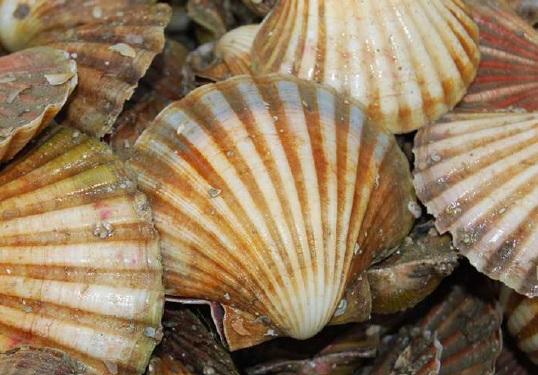 Bass Strait Central Zone Scallop Fishery Biomass Surveys 2015-21